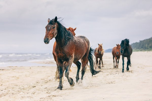 Animal Stock Photos: Photocreo Michal Bednarek - A herd of horses walking on the windy seashore.