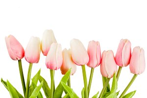 Pink spring flowers tulips