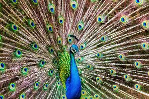 A Peacock Doing its Thing