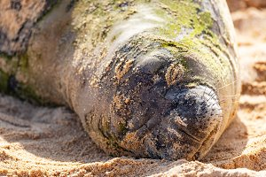 Resting Hawaiian Munk Seal