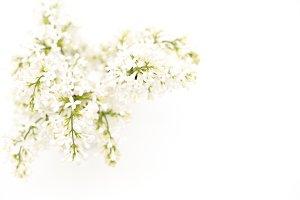 Stock photo -white flowers
