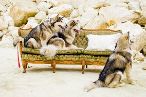 Malamute breed dogs