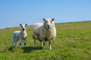 Single new born lamb with ewe against blue sky