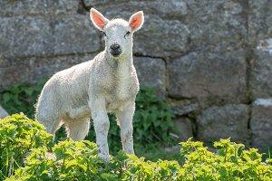 Single new born lamb backlit against stone wall
