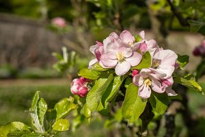 Close up view of the blossoms on an apple tree in orchard