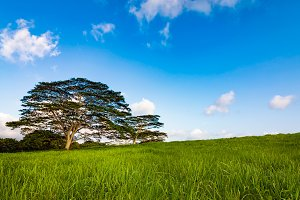Lone Tree on a Hillside