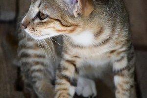 Cat in Cambodia