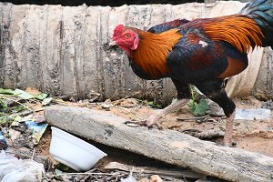 Chicken in Cambodia