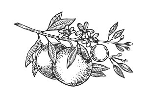 Orange tree branch engraving vector illustration