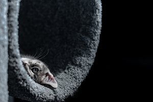 Kitten in Cat Tree Looking at Camera