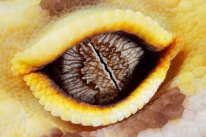 Leopard gecko eye