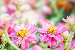 flowers zinnia