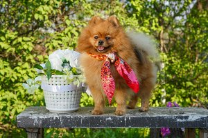 Dog breed Pomeranian