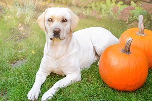 Labrador with orange pumpkins