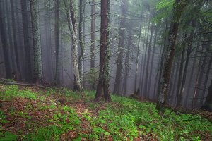 Forest in the mist