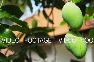 Mangoes on mango tree.