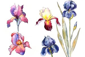 Purple and yellow irises flowers set
