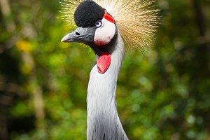 crowned Crane(VERTICAL)