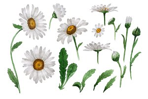 Beautiful flower white daisy PNG set