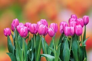 Fresh colorful tulip and bokeh