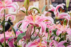 Group of pink lilies