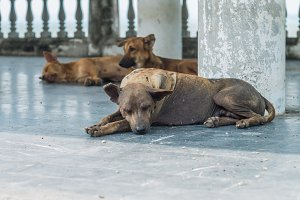 Three stray dog resting