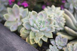 Colorful Succulent Garden - Macro