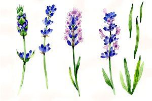 Nice flower purple lavender PNG set