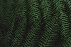 Dark Ferns