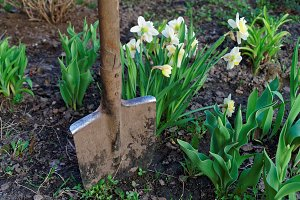 Narcissus flowers and shovel