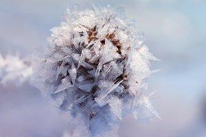 колючее растение в инее и снеге