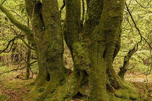 Heavy moss covered tree trunks in forest