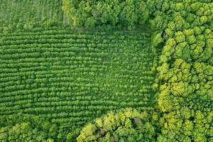 Forest and plantations of young trees. Concept of forest conservation. Drone photographу