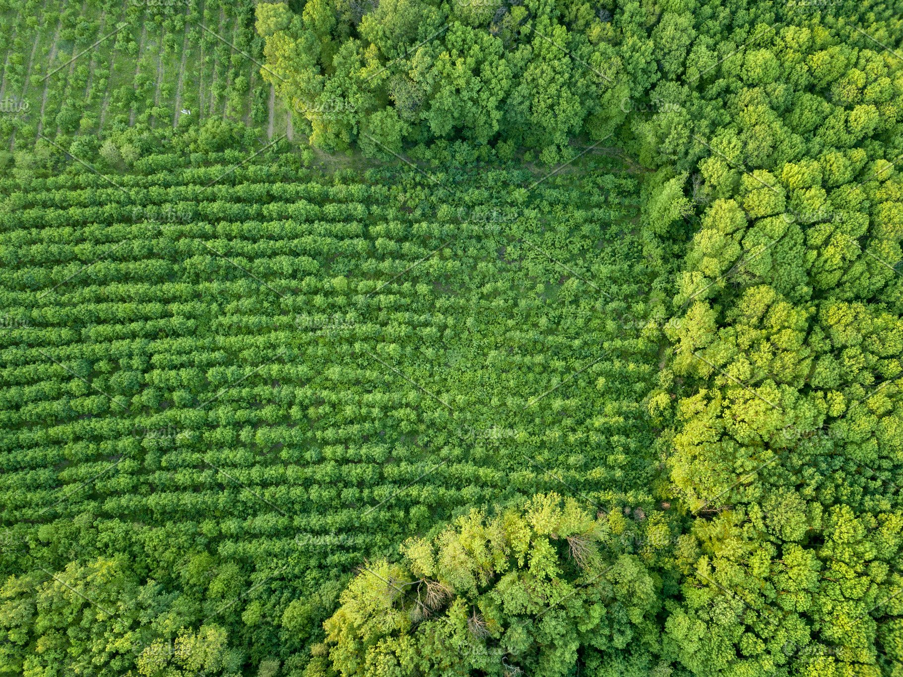 Forest and plantations of young trees  Concept of forest conservation   Drone photographу