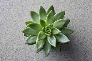 Top view of succulent plant Echeveria on a gray stone background