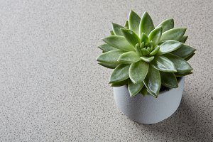 Echeveria plant in a flowerpot on a gray stone background