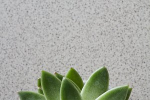 Green plant Echeveria on a gray stone background top view
