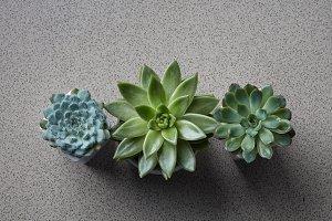 Three flowerpots with different plants Succulents Echeveria