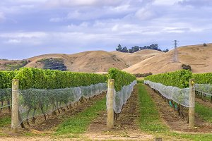 Vineyard in Marlborough New Zealand
