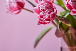 Pink tulips in a glass vase on a pink background