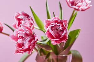 Spring pink tulips in a vase on a pink background