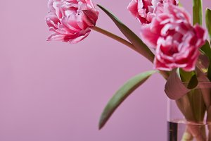 Bouquet of flowering pink tulips on a pink background