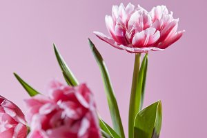 Flowers tulips with green leaves on a pink background