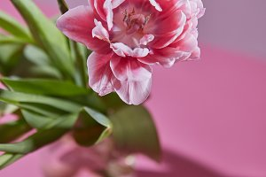 A blossoming tulip flower in a glass vase on a pink background