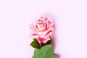 Violet blooming roses