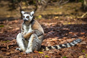 lemur with her baby