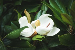 Magnolia flower among the leaves