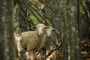 Sheep in forest among trees