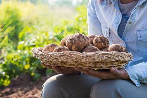 Farmer harvesting fresh potatoes