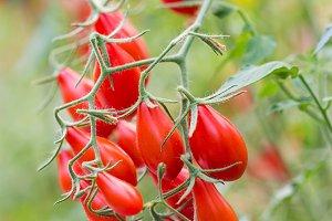 Ripe tomatoes.